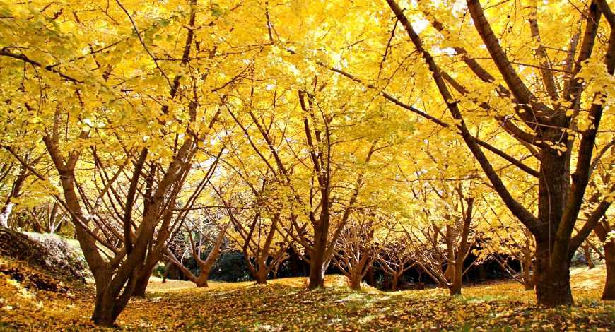 日本秋季自由行推薦必訪銀杏景點九州鹿兒島