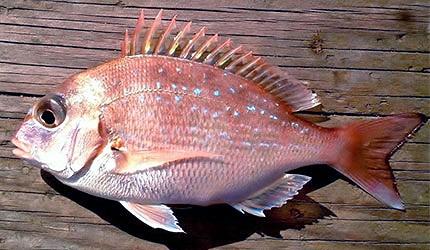 日本春天春季美食櫻鯛鯛魚真鯛示意圖