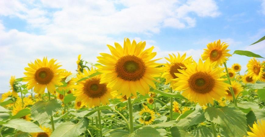 夏の風物詩日本夏天賞花向日葵