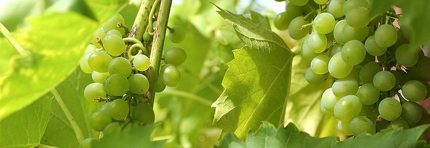日本有名的提子葡萄