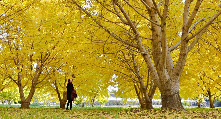 日本秋季自由行推薦必訪銀杏景點九州福岡