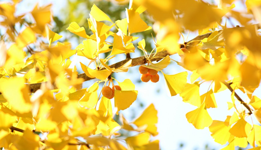 日本全国红叶黄叶赏银杏最佳时期预测前缐