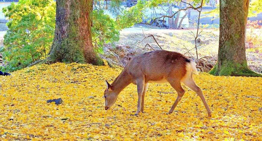 日本秋季自由行推薦必訪銀杏景點關西奈良公園