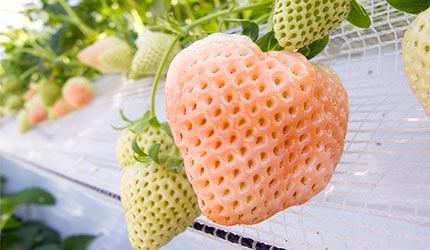 日本春天春季美食草莓示意圖