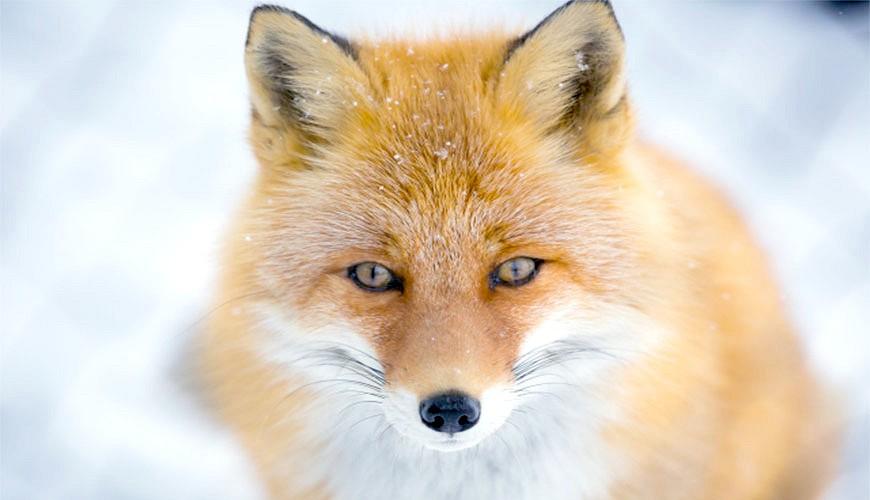 狐狸示意圖