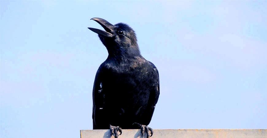 鳥類烏鴉示意圖
