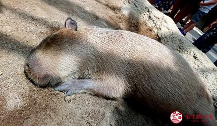 日本各地的动物界偶像大点名!囧脸猫、帅猩猩、佛系水豚让人秒被圈粉