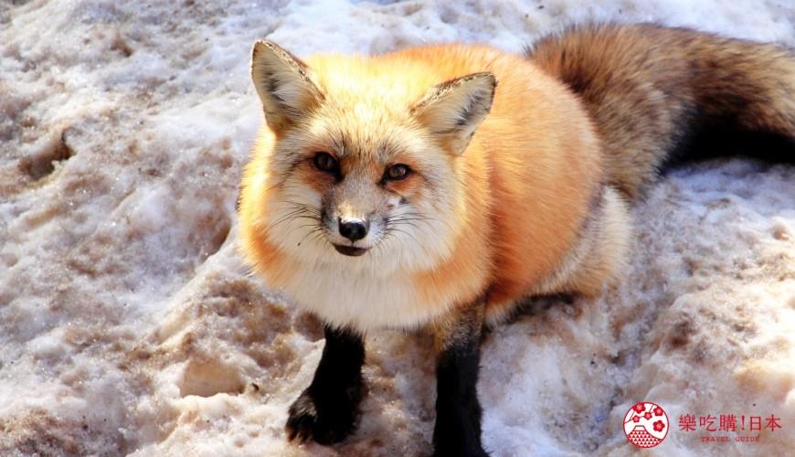 日文裡面10個常用日本諺語教學《動物篇》:狐狸形象圖