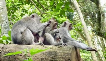 日文裡面10個常用日本諺語教學《動物篇》:猴子形象圖