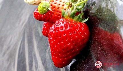 日本數字諧音日草莓形象圖