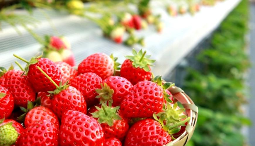 日本草莓品種女峰甘王紅臉頰章姫佐賀穂香明日香紅寶石古都華初戀的香味豊香