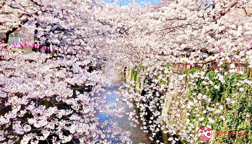 日本樱花开花(桜が咲く)示意图