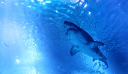 日本魚類漢字「鮫」(鯊魚)的形象圖