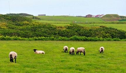 日本貓狗兔仔狐狸天鵝動物島的燒尻島上有大量羊隻