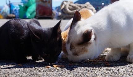 日本貓狗兔仔狐狸天鵝動物島的有名的貓島滋賀沖島已禁止餵貓