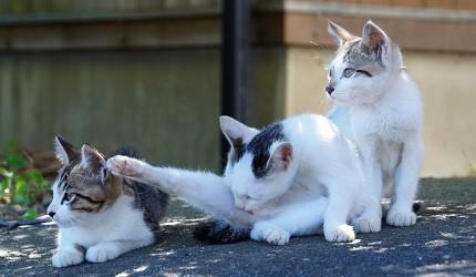 日本貓狗兔仔狐狸天鵝動物島的滋賀沖島是有名的貓島