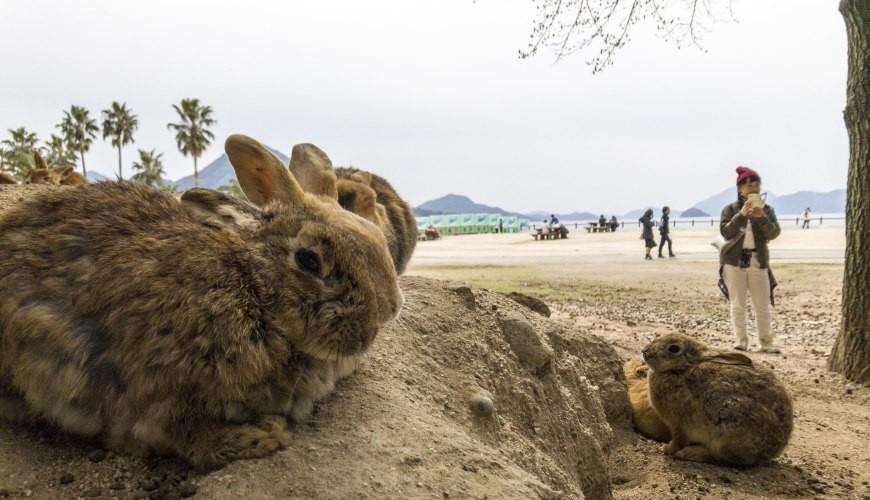 日本貓狗兔仔狐狸天鵝動物島的兔仔島
