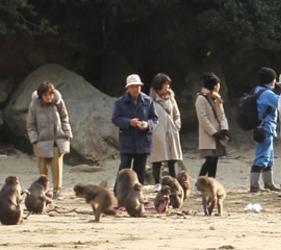 日本貓狗兔仔狐狸天鵝動物島的馬騮島是九州東南部宮崎縣的幸島