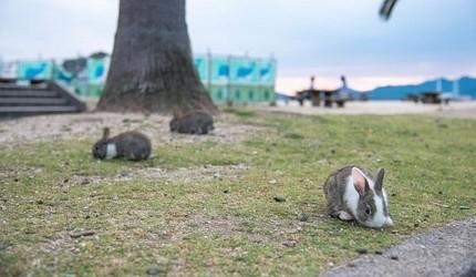 日本貓狗兔仔狐狸天鵝動物島的兔仔島大久野島上的野生兔仔隨地可見