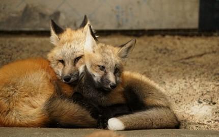 日本貓狗兔仔狐狸天鵝動物島的藏王狐狸村的狐狸相依偎