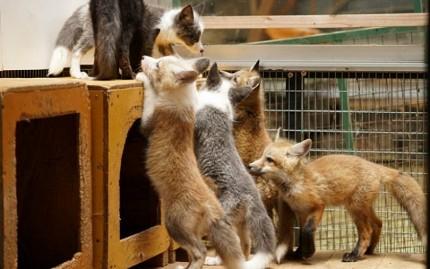 日本貓狗兔仔狐狸天鵝動物島的藏王狐狸村內狐狸品種多