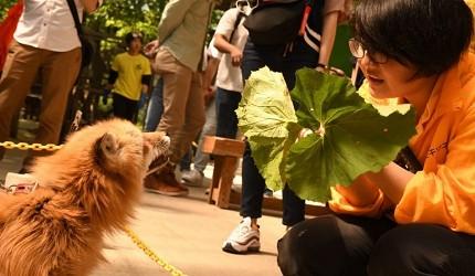 日本貓狗兔仔狐狸天鵝動物島的藏王狐狸村內可讓遊客近距離接觸狐狸