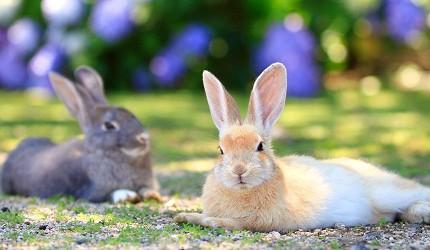 日本貓狗兔仔狐狸天鵝動物島的兔仔島大久野島上有好多野生兔仔