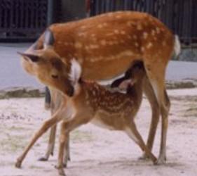 日本貓狗兔仔狐狸天鵝動物島的鹿島廣島灣宮島上的野生鹿不怕人