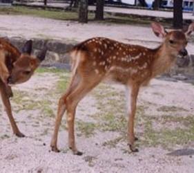 日本貓狗兔仔狐狸天鵝動物島的鹿島廣島灣宮島上有好多野生鹿
