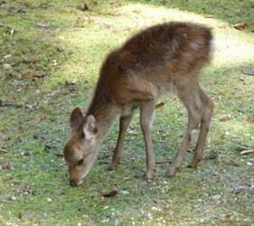 日本貓狗兔仔狐狸天鵝動物島的鹿島廣島灣宮島上的野生鹿喜歡吃鹿仙貝