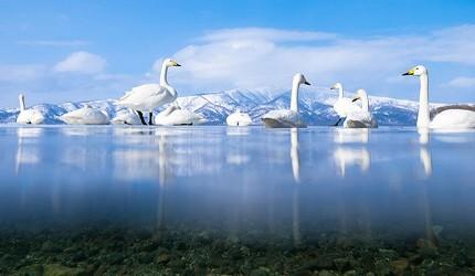 日本貓狗兔仔狐狸天鵝動物島的屈斜路湖聚集了大量天鵝