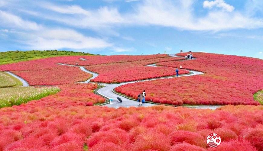 日本地名讀音文章介紹之茨城常陸海濱公園的掃帚草形象圖