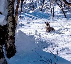 日本有中文教練的滑雪場推介的中文滑雪場Evergreen國際滑雪學校營地內可見到野生動物