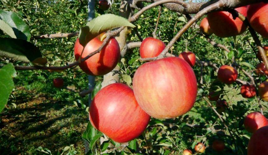 日本青森津轻苹果