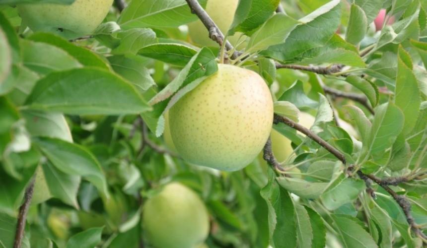 日本青森青苹果王林