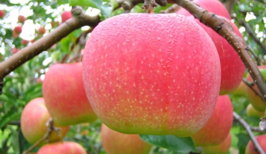 日本青森乔纳金苹果