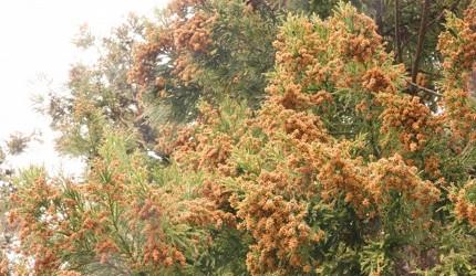 保濕衛生紙巾推薦推介的原因杉樹花粉