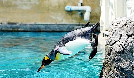 北海道自由行善用北海道 Resort Liner 观光巴士轻松看帅气的跳水企鹅