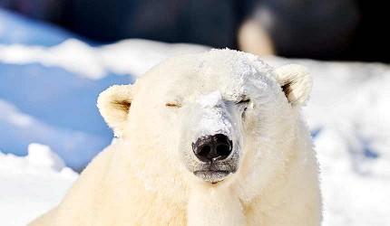 北海道自由行善用北海道 Resort Liner 观光巴士轻松看呆萌的北极熊