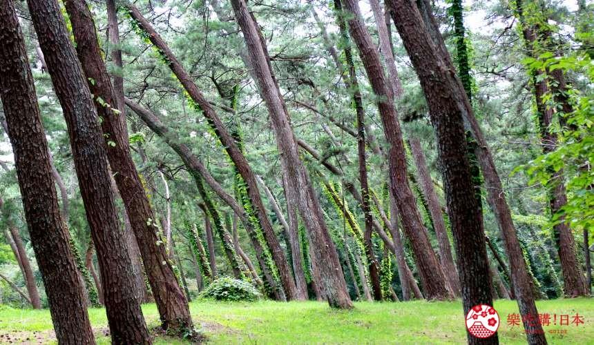 秋田必去療癒行程推薦推介白神山地櫸木林風之松原的樹傾向一邊