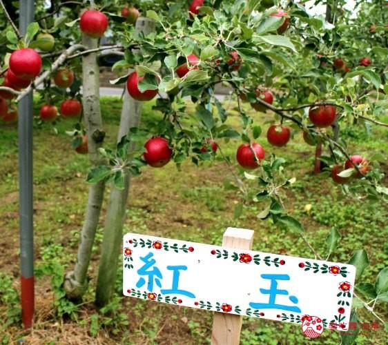 秋田必去療癒行程推薦推介白神山地櫸木林風之松原有名的蘋果品種紅玉