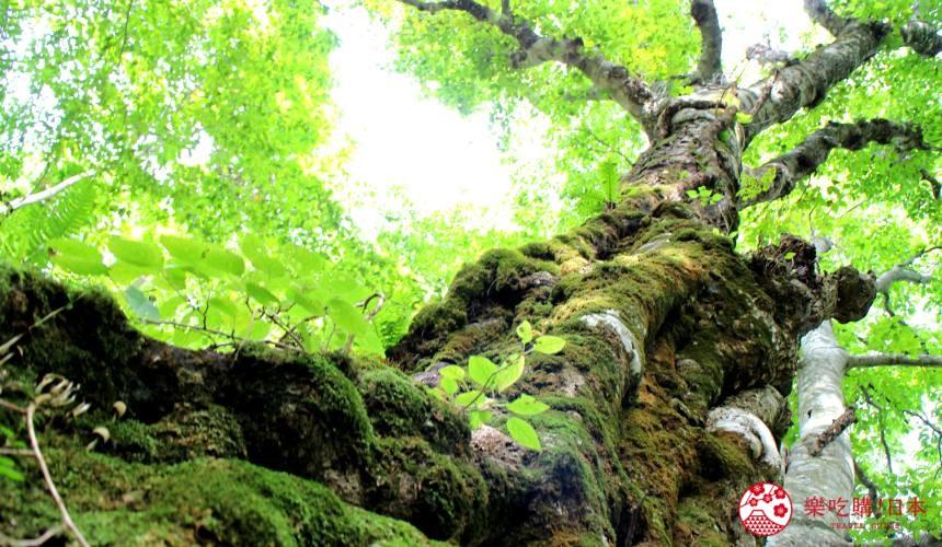 秋田必去療癒行程推薦推介白神山地櫸木林風之松原岳岱觀察林中的400年山毛櫸