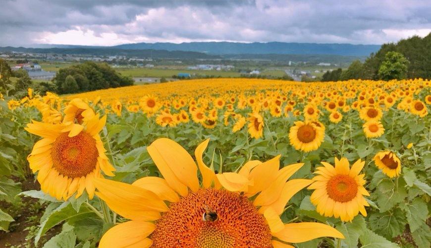 北海道秋天必去景点推荐推介向日葵花海