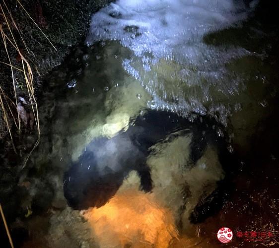 鳥取縣必去景點推薦推介鬼太郎列車大山3天2夜行程3日2夜自由行懶人包體驗型農家民宿Katsumiya有機會近距離觀察到大山椒魚