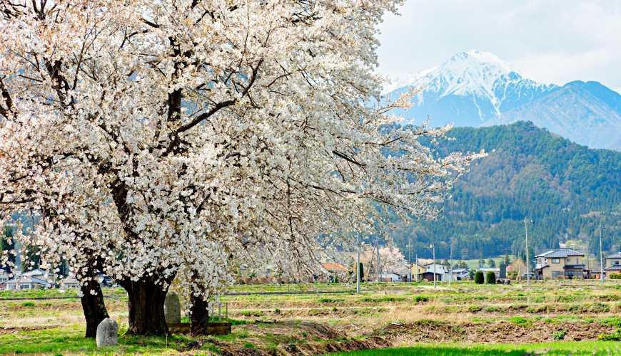 長野自由行松本安曇野景點北阿爾卑斯山的櫻花樹