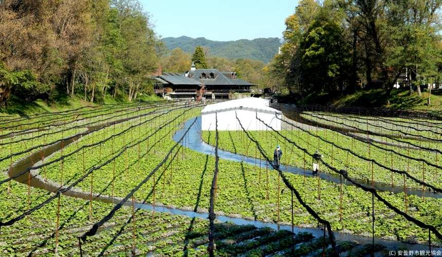 長野自由行松本安曇野景點大王山葵農場的山葵田