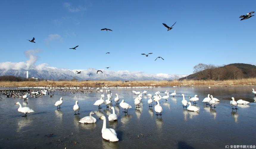 長野自由行松本安曇野景點御寶田游水池白天鵝棲息地