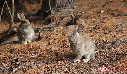 廣島景點推薦竹原市大久野島上的兔子