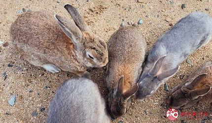 廣島竹原市景點推薦大久野島兔子島上的兔子