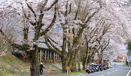 岛根景点推荐推介自驾游行程租车自由行绝景旅游潮站前粉色樱花路